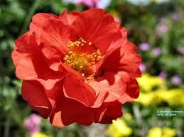 Trandafirul Chilian – leacul suprem pentru cicatrici și orice semn de pe corp!! Soluții de ultimă oră!!